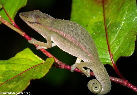 Furcifer gastrotaenia (Andasibe)