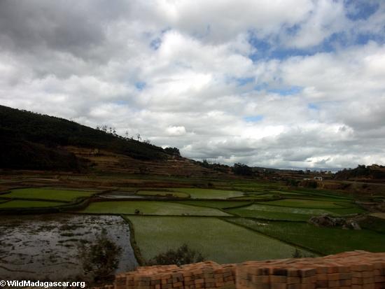 Reis fängt zwischen Andasibe und Tana auf