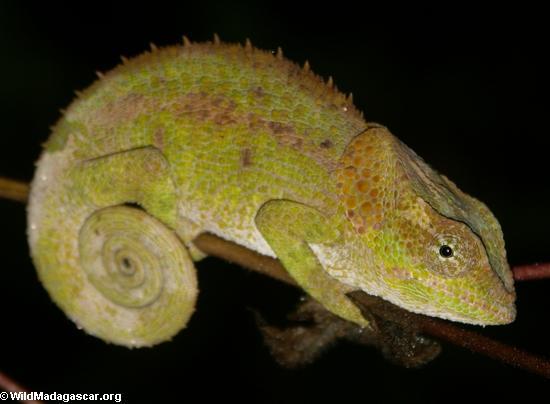 Calumma Parsonii (Andasibe)