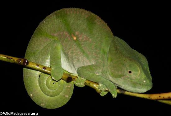Calumma Parsonii (Andasibe) [calumma_parsonii0008]