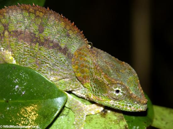 Calumma brevicornis (Andasibe)