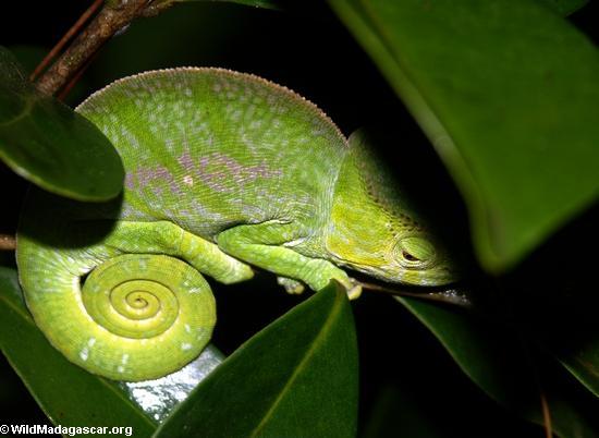 Calumma Parsoniia(Andasibe)
