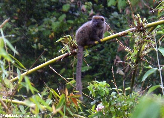 Grey Bamboo Lemur(Andasibe)