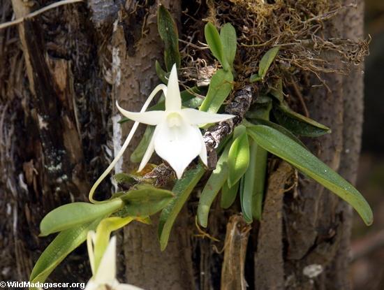 Orchid (Andasibe)