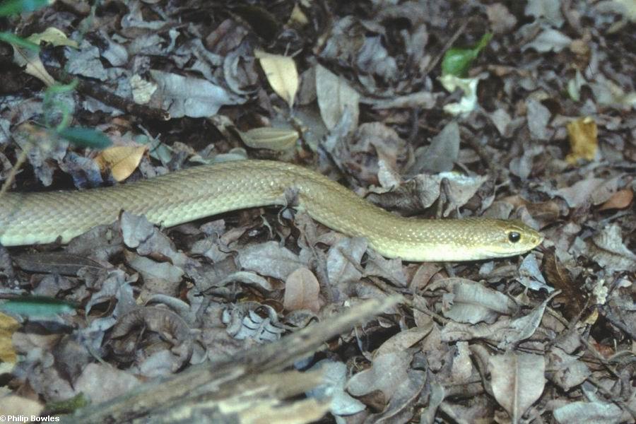 Leioheterodon modestus (Lake Antafoky / Sept Lacs )