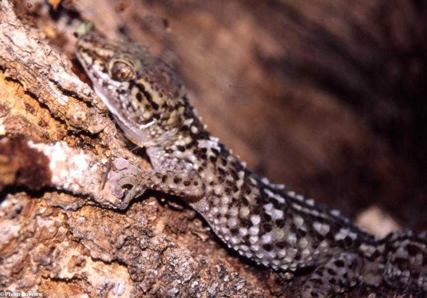 Paroedura bastardi gecko (Lake Antafoky / Sept Lacs )