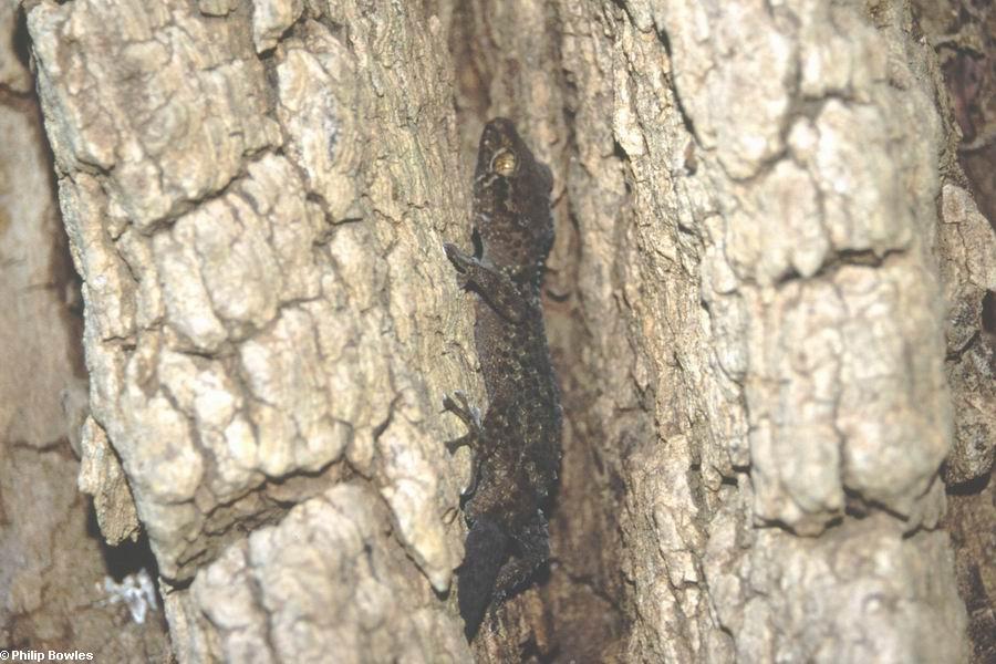 Adult Paroedura bastardi gecko (Lake Antafoky / Sept Lacs )