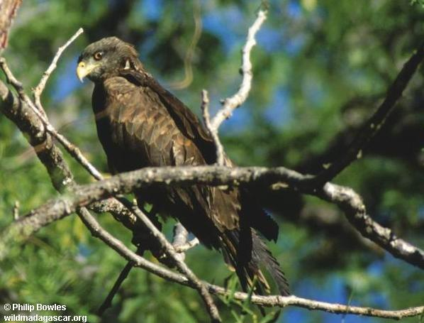 Yellow-billed kite at Antafoky