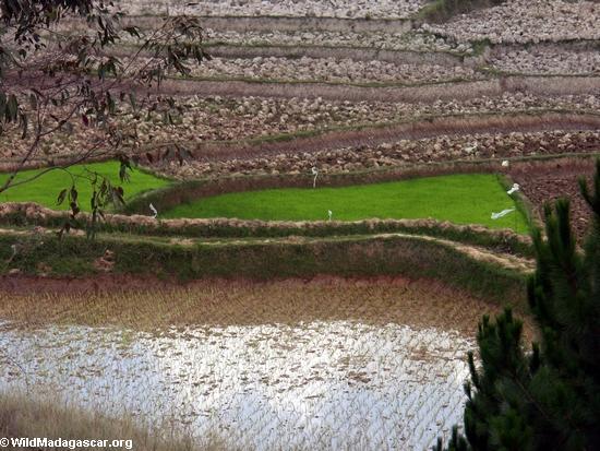 Reis fängt von den madagassischen Hochländern auf