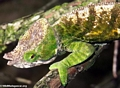 Parson's chameleon in highland forest of Madagascar (Andasibe)