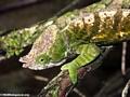 Parsoni chameleon (Andasibe)