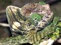 Parson's chameleon (Andasibe)