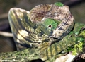 Calumma oshaughnessyi chameleon [Calumma_parsoni_206]