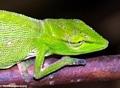 Furcifer gastrotaenia chameleon