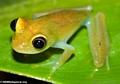 Boophis (?) frog at Andasibe