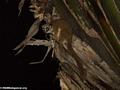 Greater dwarf lemur (Andasibe)