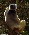 Diademed sifaka in Mantady NP (Mantady)