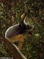 Diademed sifaka in Mantady National Park (Mantady)