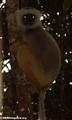 Propithecus diadema diadema lemur (Mantady)