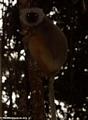 Propithecus diadema diadema (Mantady)