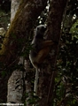 Propithecus diadema (Mantady)