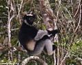 Indri lemur in Andasibe (Andasibe)