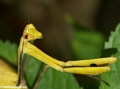 mantid yellow (Andasibe)