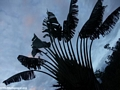 Travelers palm (Ravenala madagascariensis) (Andasibe)