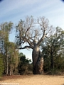 Intertwined baobab trees (Morondava)