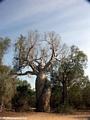 Lover's baobabs (Morondava)