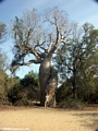 Les baobabs amoureux (Morondava)