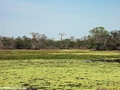 Baobabs near pond (Morondava)