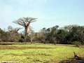 Baobab trees near pond (Morondava)