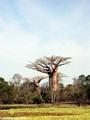 Baobabs near pond (Morondava) [baobabs0009]