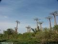 Baobabs (Morondava) [baobabs0016]