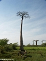 Baobabs with empty zebu cart (Morondava)