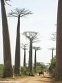 Baobabs (Morondava) [baobabs0022]