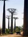 Baobabs (Morondava) [baobabs0023]
