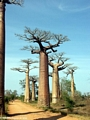Baobabs (Morondava) [baobabs0026]