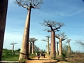 Baobabs with zebu cart (Morondava) [baobabs0028]
