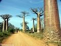 Baobabs with zebu cart (Morondava) [baobabs0029]