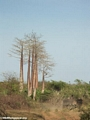 Baobabs (Morondava) [baobabs0031]