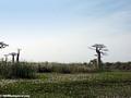 Baobabs (Morondava) [baobabs0032]