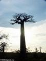 Baobabs (Morondava) [baobabs0087]