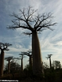 Baobabs (Morondava) [baobabs0088]
