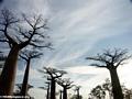 Baobabs (Morondava) [baobabs0090]