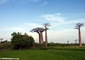 Baobabs with rice fields (Morondava)