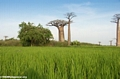 Baobabs with rice paddies (Morondava)