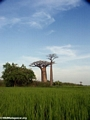 Baobabs with rice paddies (Morondava) [baobabs0095]