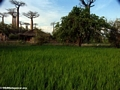Baobabs with rice paddies (Morondava) [baobabs0096]